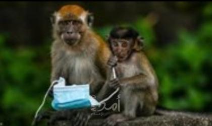 بالفيديو.. بثور على أجسامهم وفقدان وزنهم .. الجذام ينتقل إلى القرود